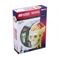 26053 4D Human Cranial...