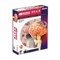 26056 4D Human Brain...