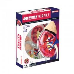 26067 4D Human Kidney...